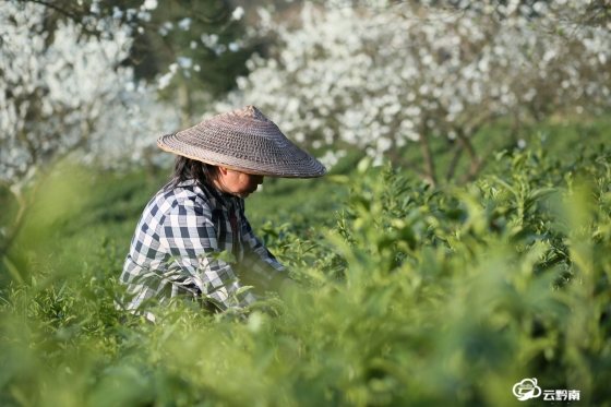 福泉:春分时节采茶忙