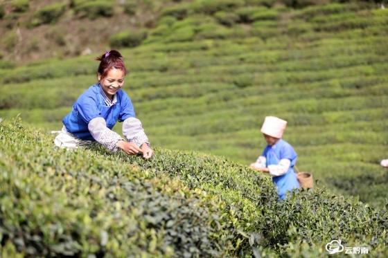 龙里:农民抢抓时令采摘雨前茶