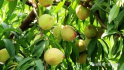 甕安:小桃子成就大產業