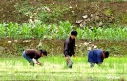 甕安縣玉山鎮:五彩水稻繪就致富新路