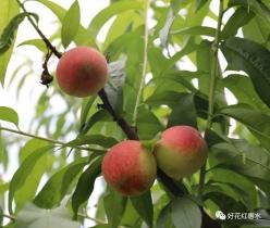 惠水:蜜桃成熟季  電商來幫忙