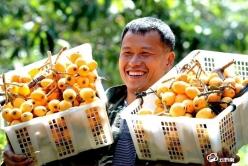 夏月枇杷黃似桔  荔波縣朝陽鎮水果產業發展迅猛