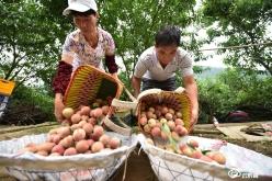 龍里:滿山桃兒紅   果農采收忙
