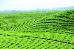 西南是世界茶葉故鄉的深深庭院貴州是茶樹原產地的中心