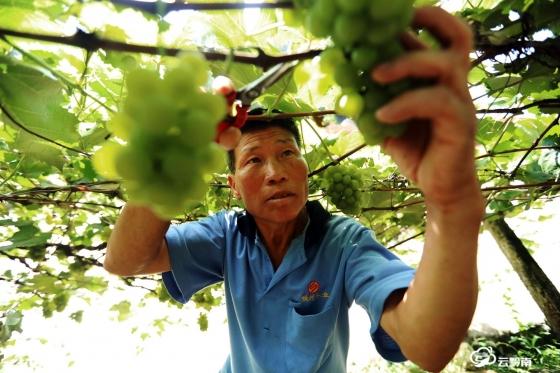 又到一年豐收季  三都水晶葡萄銷售正旺