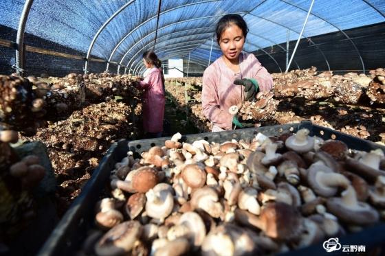 龙里县龙山镇:58万棒香菇陆续上市