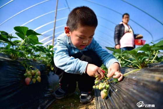 龙里:阳光暖  草莓熟  亲子共享好时光