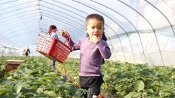 三都:冬日草莓红  游客采摘乐