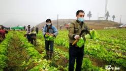 """【众志成城抗疫情】福泉:群众向一线抗疫人员捐赠10吨""""爱心""""蔬菜"""
