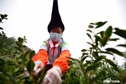 【一手抓抗疫  一手抓生产】龙里:一叶春茶,唤醒传统耕种的几代人