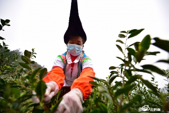 龍里:一葉春茶,喚醒傳統耕種的幾代人