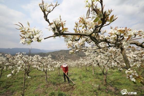 龙里:春分至  果农忙