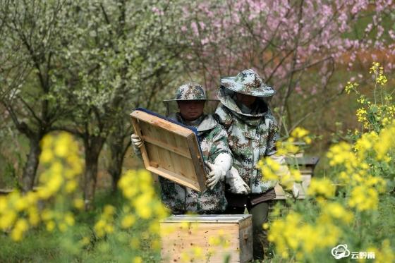 福泉香坪:花开养蜂忙
