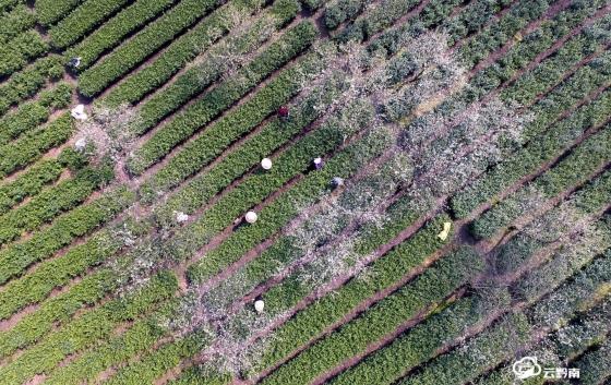 福泉:万亩春茶全面开采