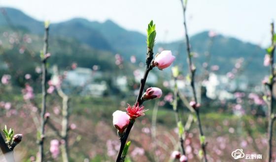 三都千畝桃花迎春開