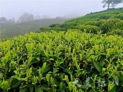 【把時間搶回來 把損失補回來】獨山翁臺村:春茶采收工作有序鋪開