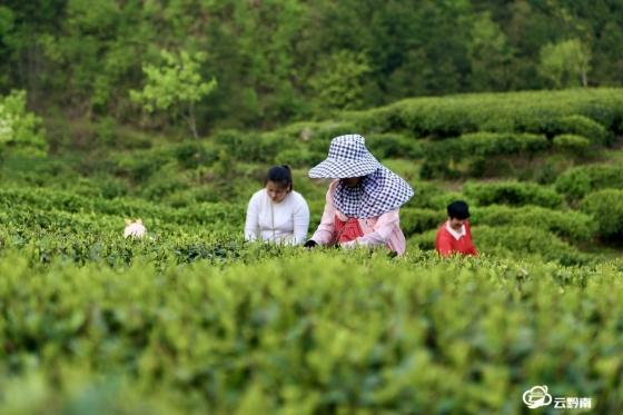 春茶鲜 不负人间三月天——我州茶产业助推脱贫攻坚见闻