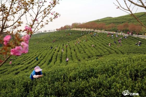 惠水:长岩茶园风光美 群众采摘春茶忙