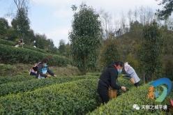 平塘:陽春三月茶吐綠  比賽開采致富茶