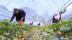 【把时间抢回来 把损失补回来】罗甸县者任村:强化产销对接解决草莓滞销难题