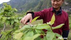 贵定县樱桃产业铺就增收致富路