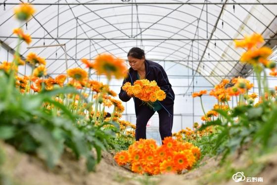 龙里:文明祭扫新风带动菊花产业产销复苏