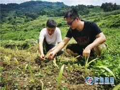 罗甸县干里村:白芨种植成为增收新门路