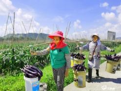 贵定县东坪村:茄子丰收村民乐