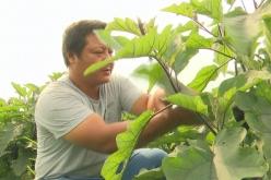 福泉陸坪:300畝紫茄上市  遠銷粵港澳