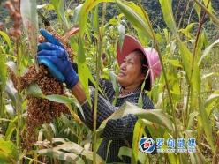 罗甸县安阳村:红高粱喜丰收 村民日子越过越红火