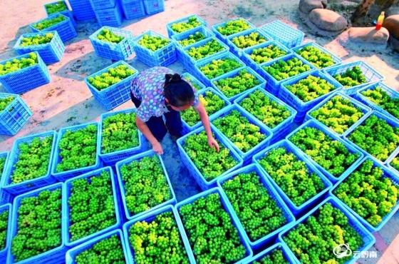 """葡萄村的""""前进""""之路——三都县普安镇前进村葡萄产业发展掠影"""