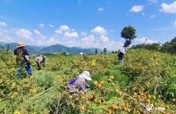 贵定:刺梨种植让2万余农户实现增收