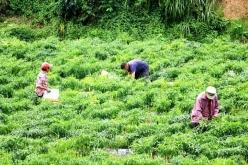 瓮安:今年辣椒产值预计超6亿元