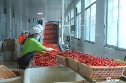 乌江两岸辣椒红——瓮安县辣椒产业发展见闻