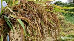 三都:多措施帮助群众抢收秋稻