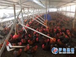 罗甸:返乡创业不畏难  蜕成养鸡专业户