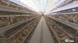 """贵定新巴:蛋鸡养殖开启""""自动化""""模式"""