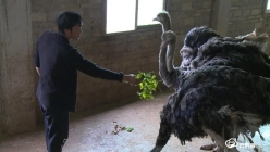 贵定宝山:鸵鸟养殖走出创业新路子