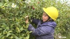 贵定新巴:打造千亩油茶基地 带动村民脱贫致富