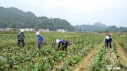 贵定县石板村首批紫菜苔开始采摘