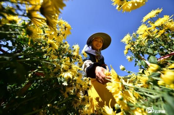 龙里:菊花种植拓宽群众增收路