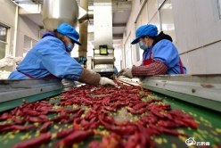 龙里:赶制辣椒订单 供应新春市场