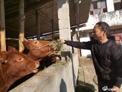 【我的扶贫故事·我的脱贫故事】罗应朝:高山黄牛养殖圆了致富梦