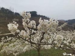 长顺:春暖花开 乡村繁花似锦