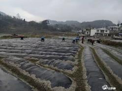 惠水县雅水镇马铃薯产业带动务工就业忙