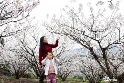 福泉凤山:樱花盛开引客来
