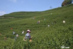 【春茶采摘正当时】惠水县5000亩茶园提前半月开采春茶