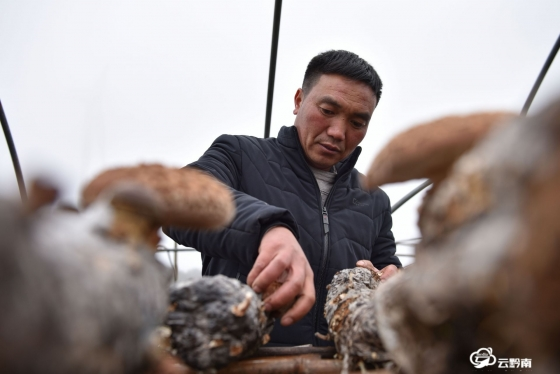 龙里:香菇收获季  采收加工忙
