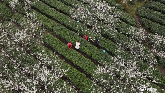 【春茶采摘正当时】福泉:春茶吐新绿 果树绽银花