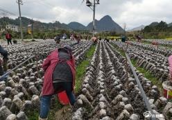 荔波县小七孔镇发展少数民族生态农业助推群众致富增收
